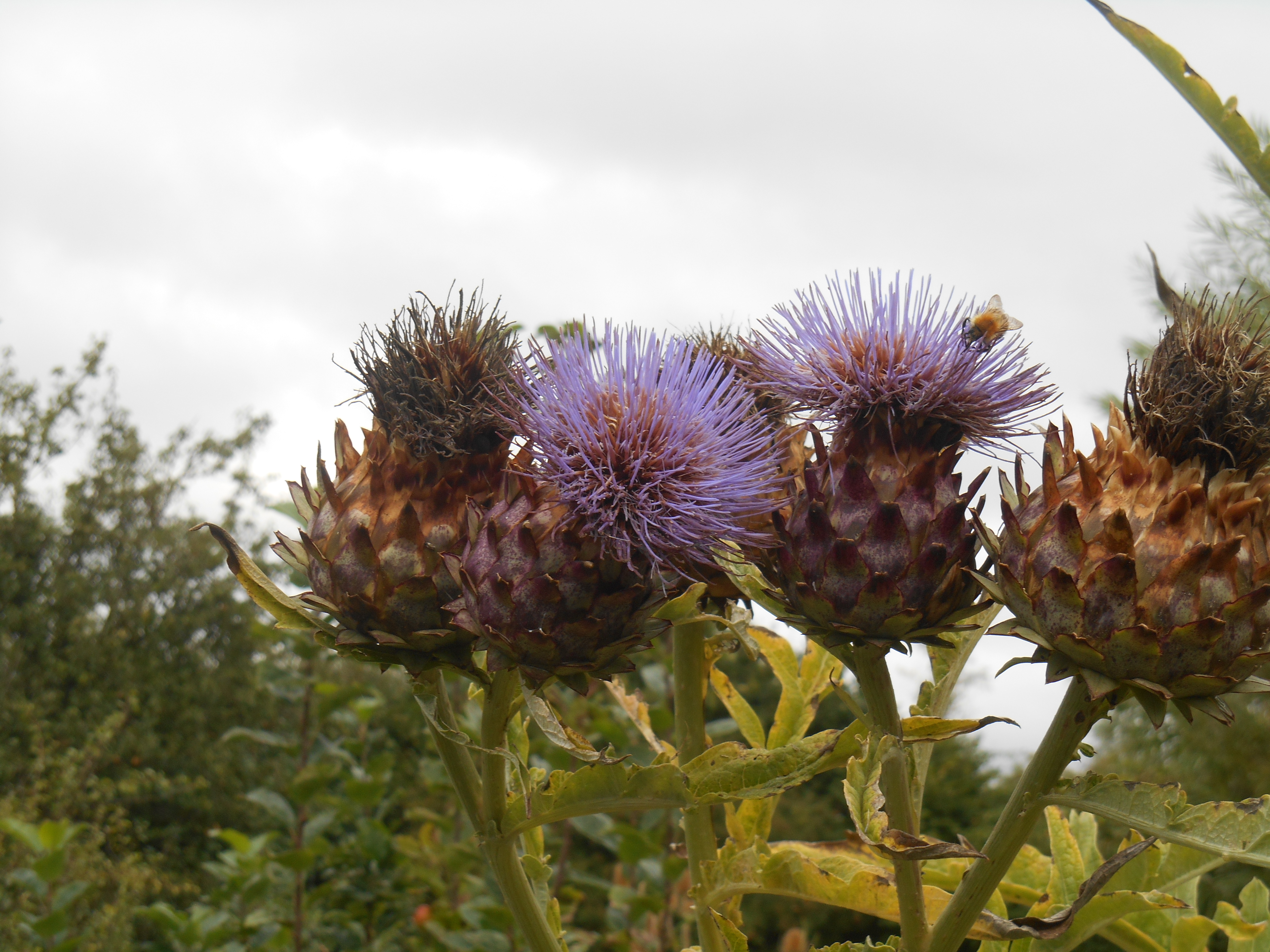 cardoon heads