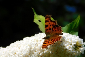 Bees, butterflies and other insects