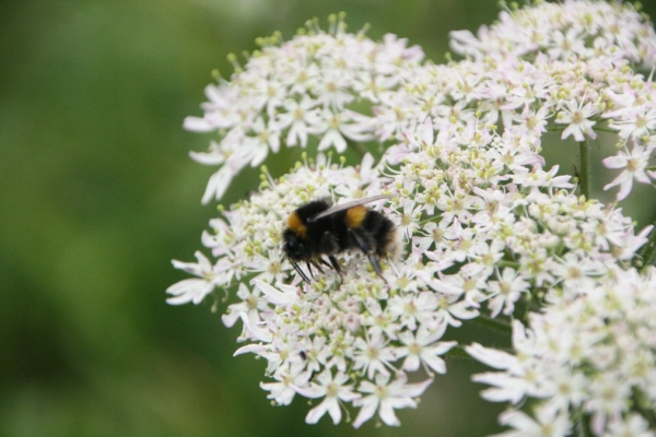 Buff-tailed bumblebee on common hogweed